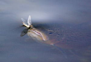 Trout rising to a mayfly. Copyright Philip Williams